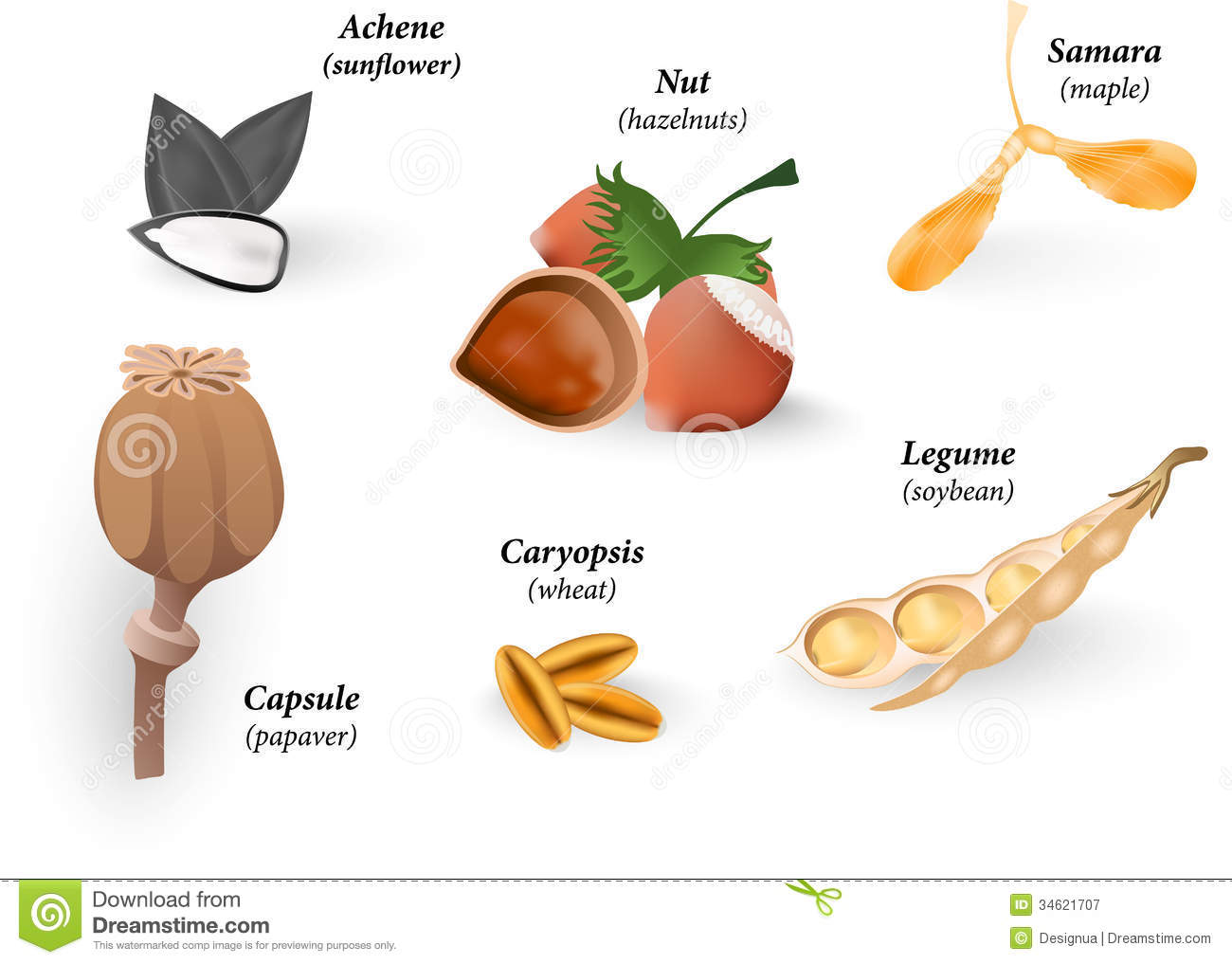 Common Types Of Fruits And Seeds Vector Illustrat Royalty
