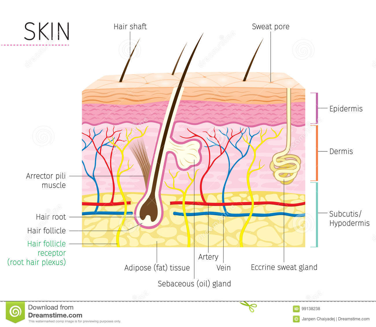 Human Anatomy Skin And Hair Diagram Stock Vector