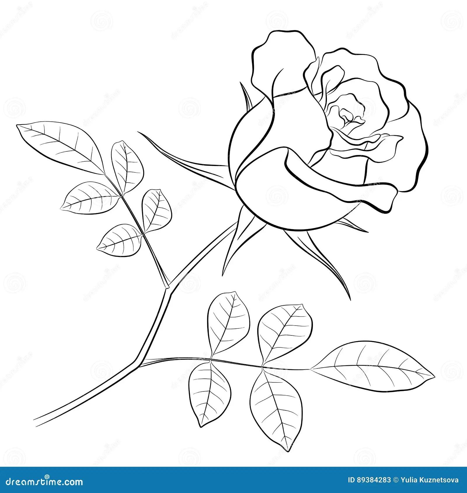 Contour Noir D Une Fleur De Rose De Tige Et De Deux