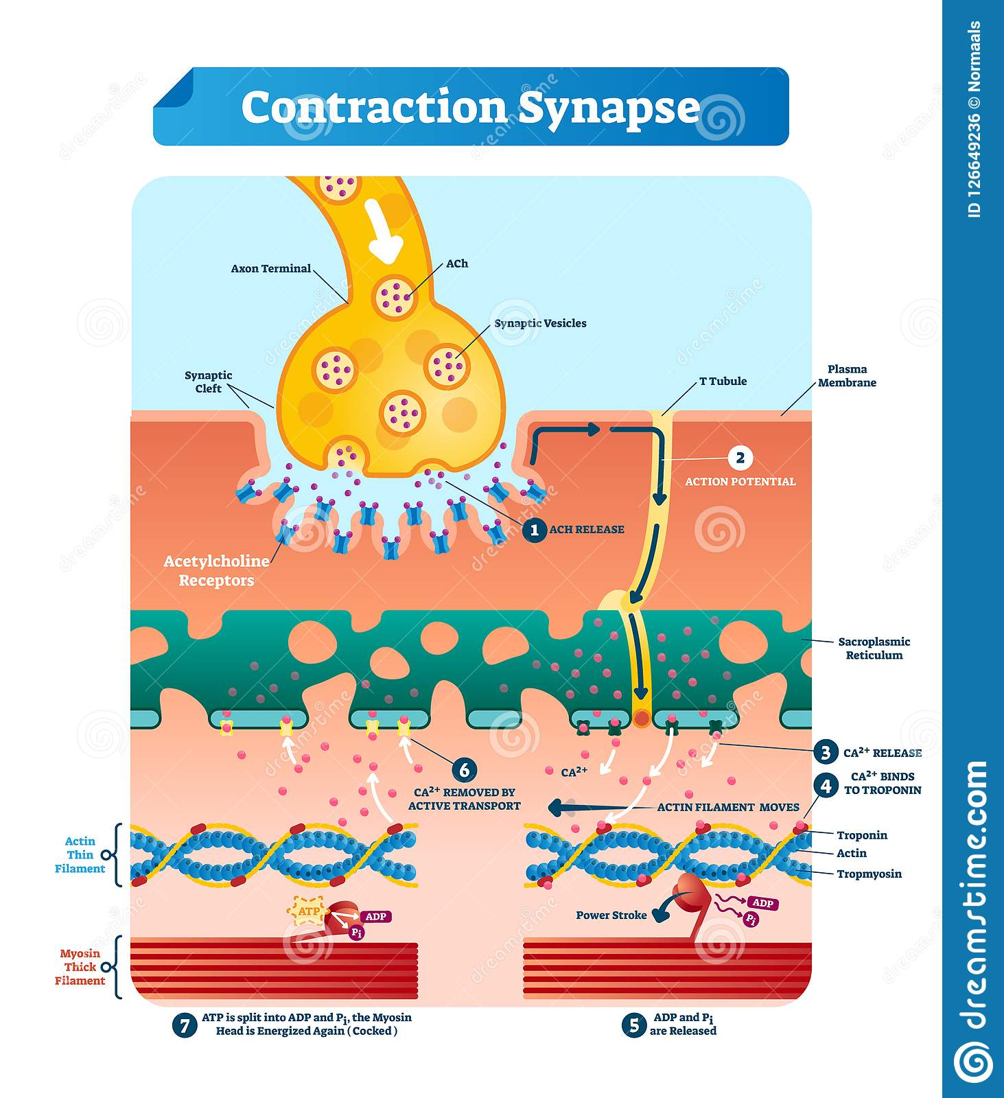 Contraction Stock Illustrations 2 168 Contraction Stock