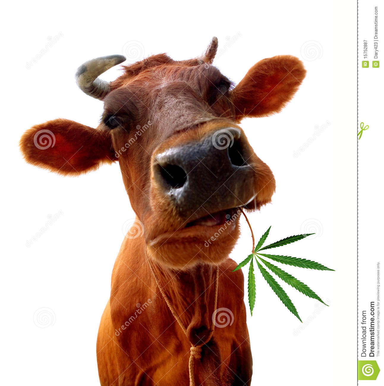 Cow Eating Royalty Free Stock Photography Image 15752887