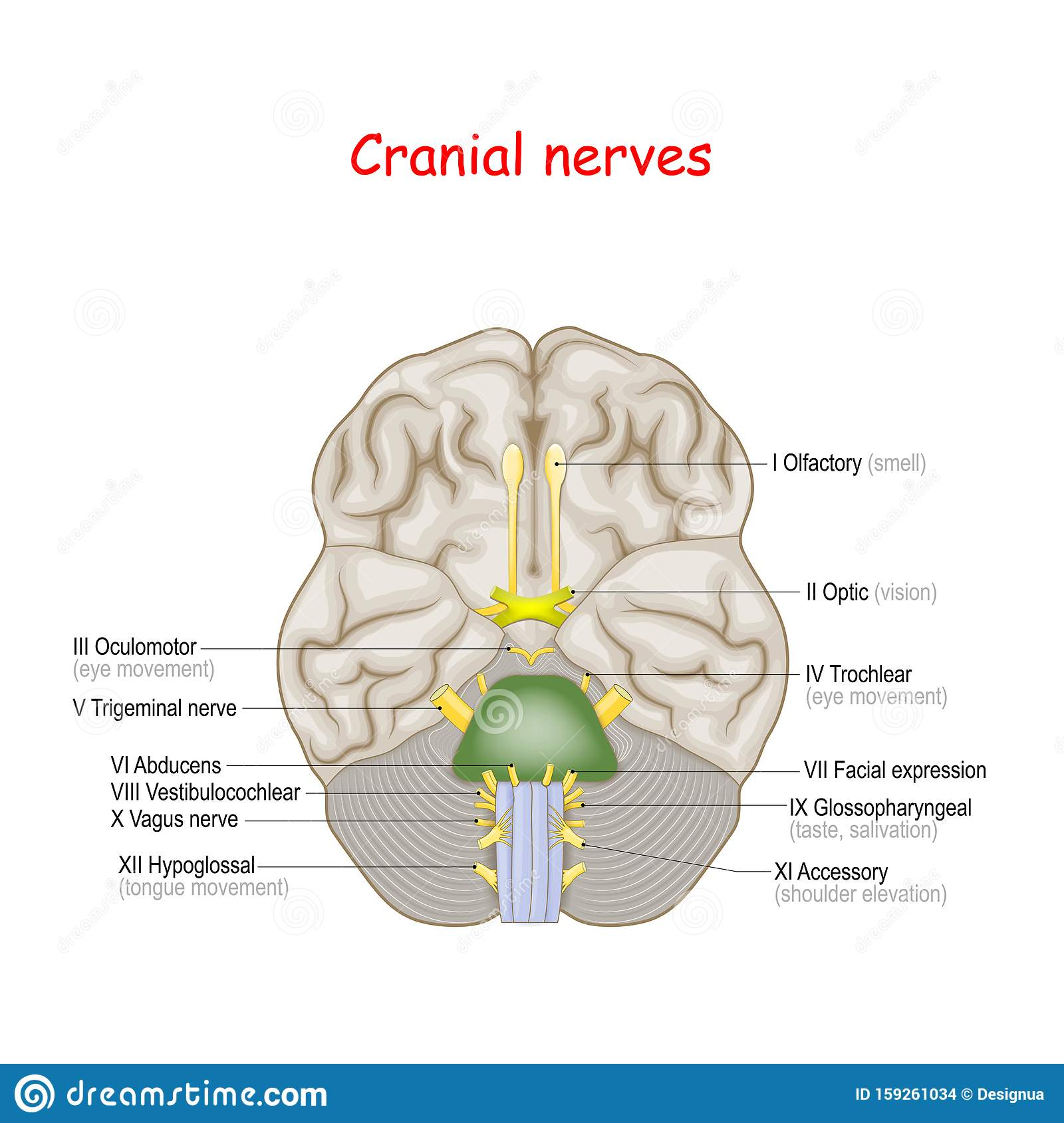 Cranial Nerves Human Brain And Brainstem From Below Stock