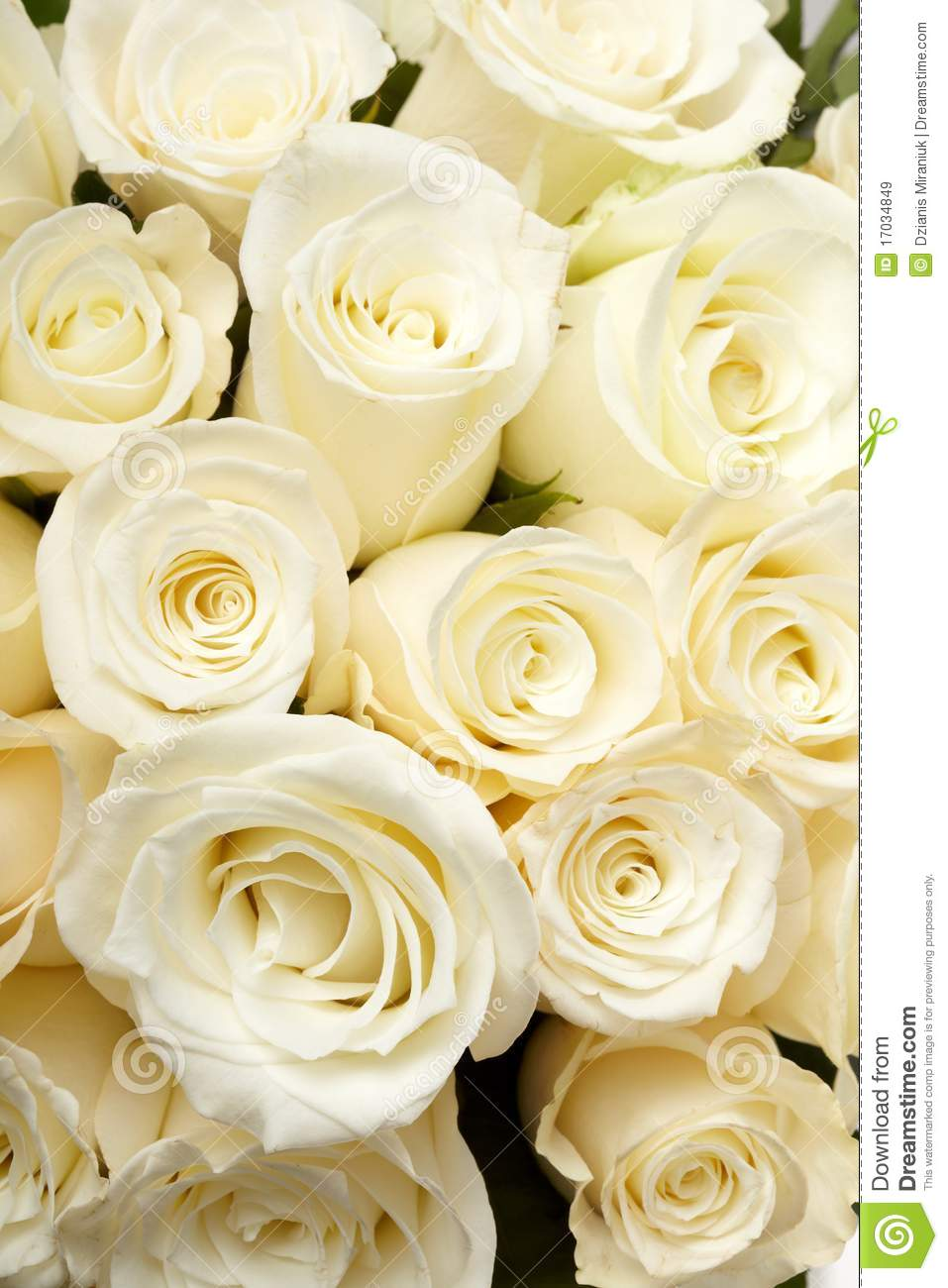Cream Roses Stock Image Image Of Beautiful Blossom