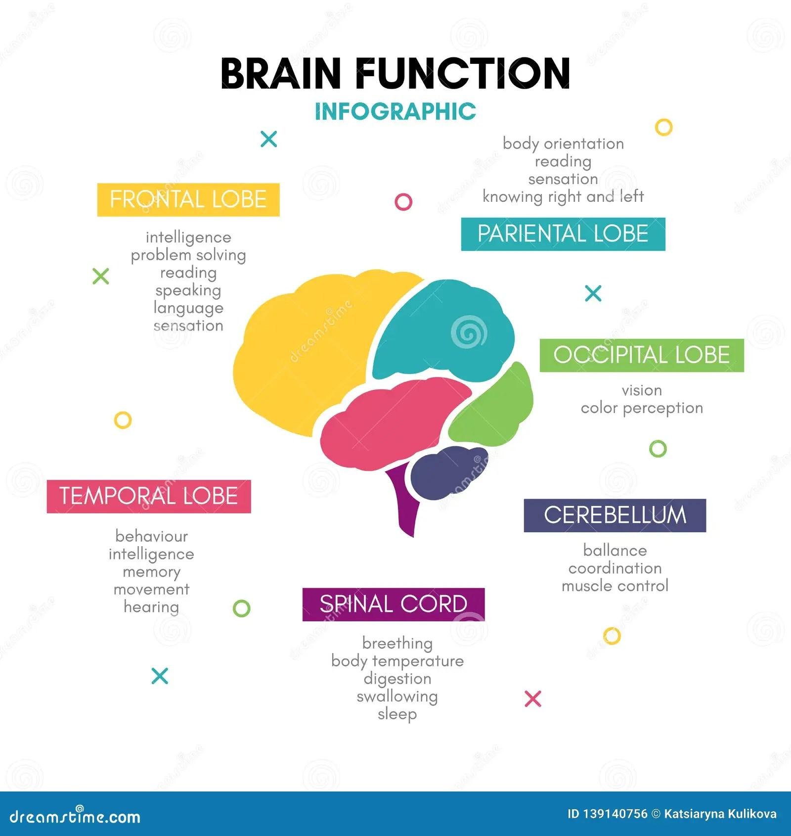 Creative Human Brain Infographic Concept Lobe Mind Stock