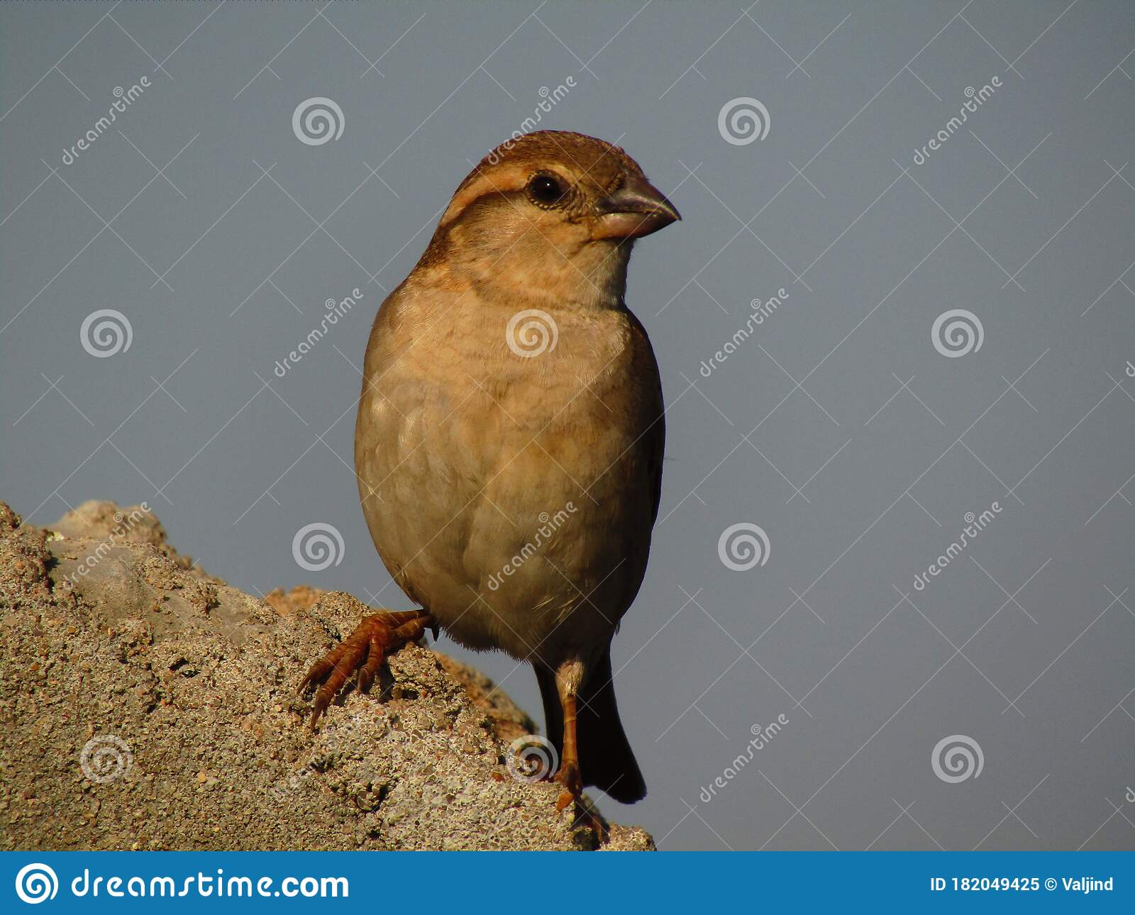 13 635 Beautiful Sparrow Photos Free Royalty Free Stock Photos From Dreamstime