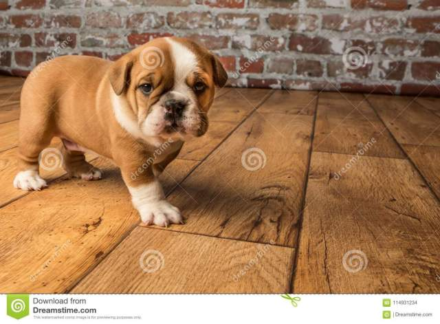 cute brown wrinkled bulldog puppy in the studio, standing