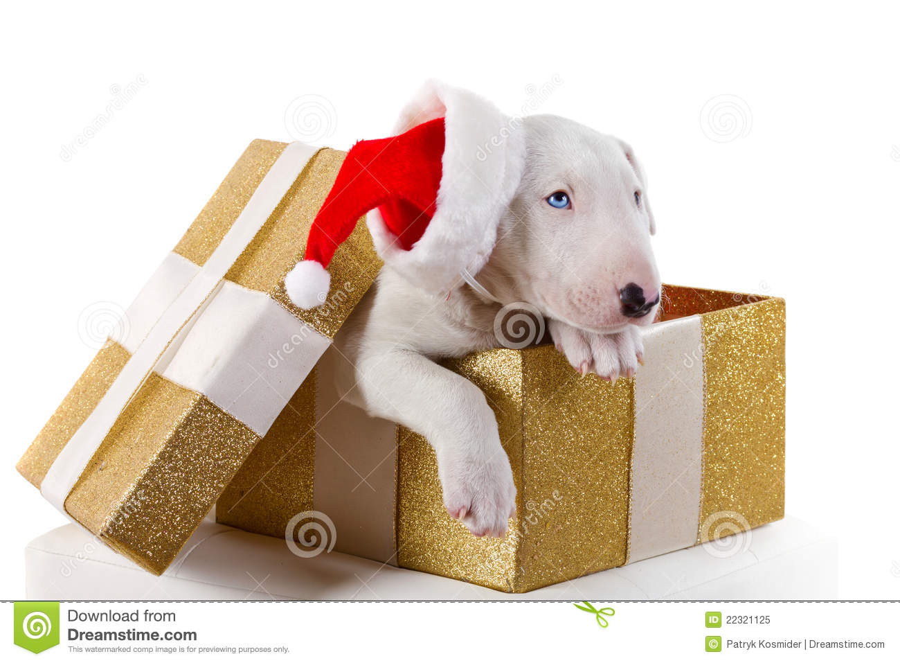 Cute Bullterrier Puppy In Christmas Gift Box Stock Image