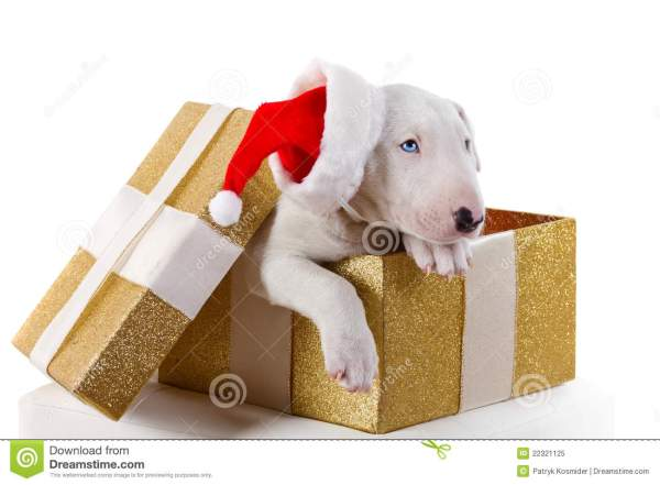 Cute Bullterrier Puppy In Christmas Gift Box Stock Image ...