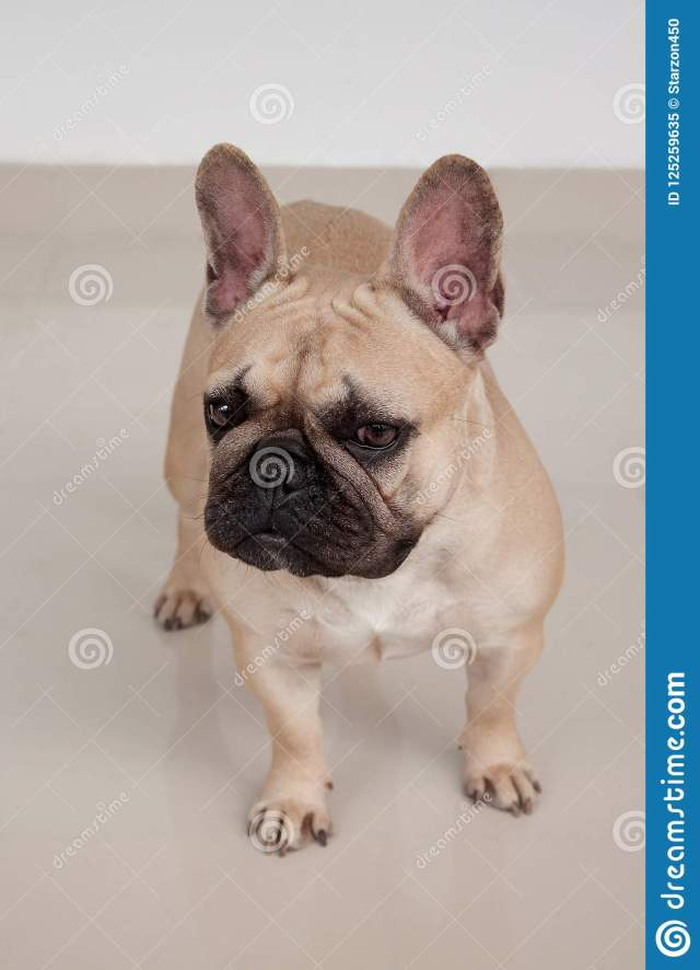 cute cream-colored french bulldog puppy is standing on tiled floor