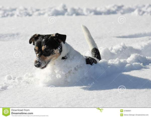 Cute Dog Jumping In Snow Stock Image Image 21968901