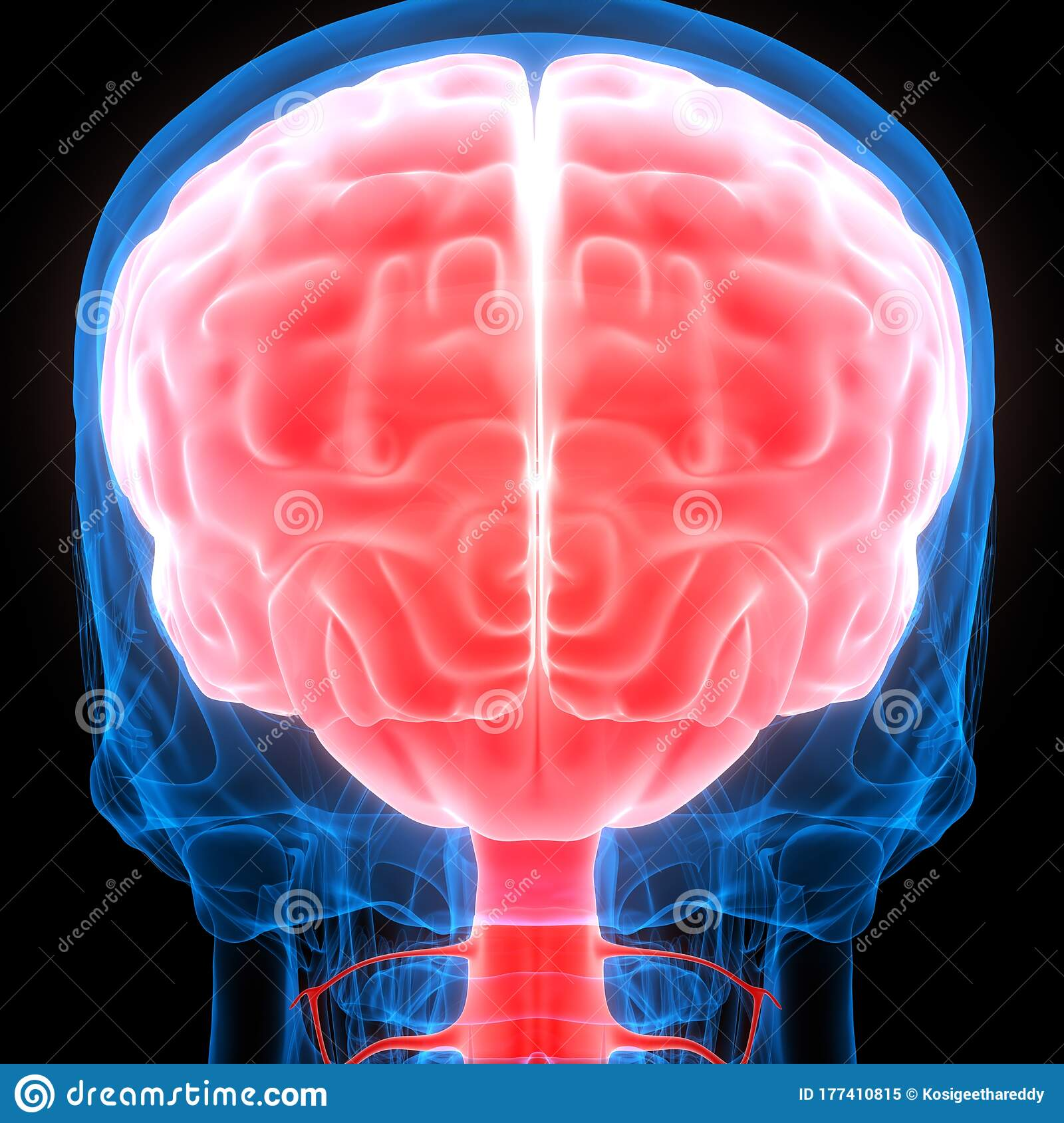 Brain A Part Of Human Central Nervous System Anatomy 3d