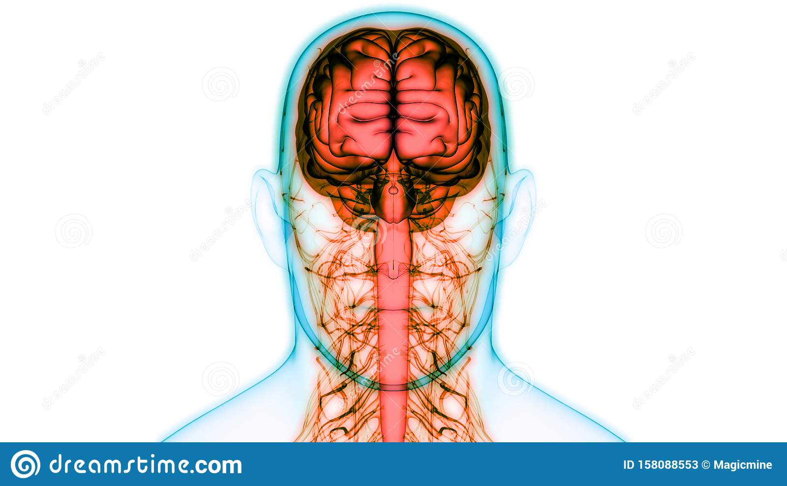 Human Body Central Nervous System With Brain Anatomy Stock