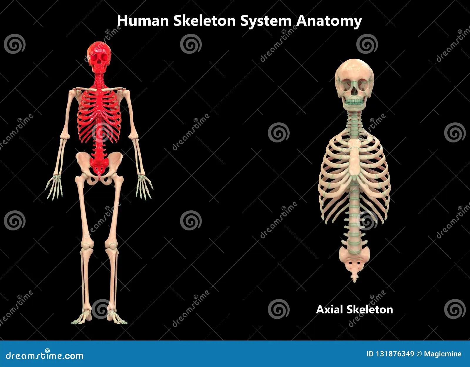Human Body Skeleton System Axial Skeleton Anatomy Stock