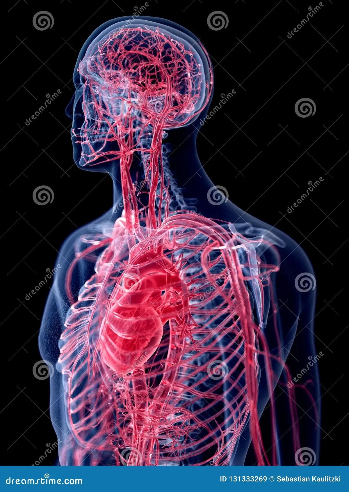 The Human Vascular System Stock Illustration Illustration