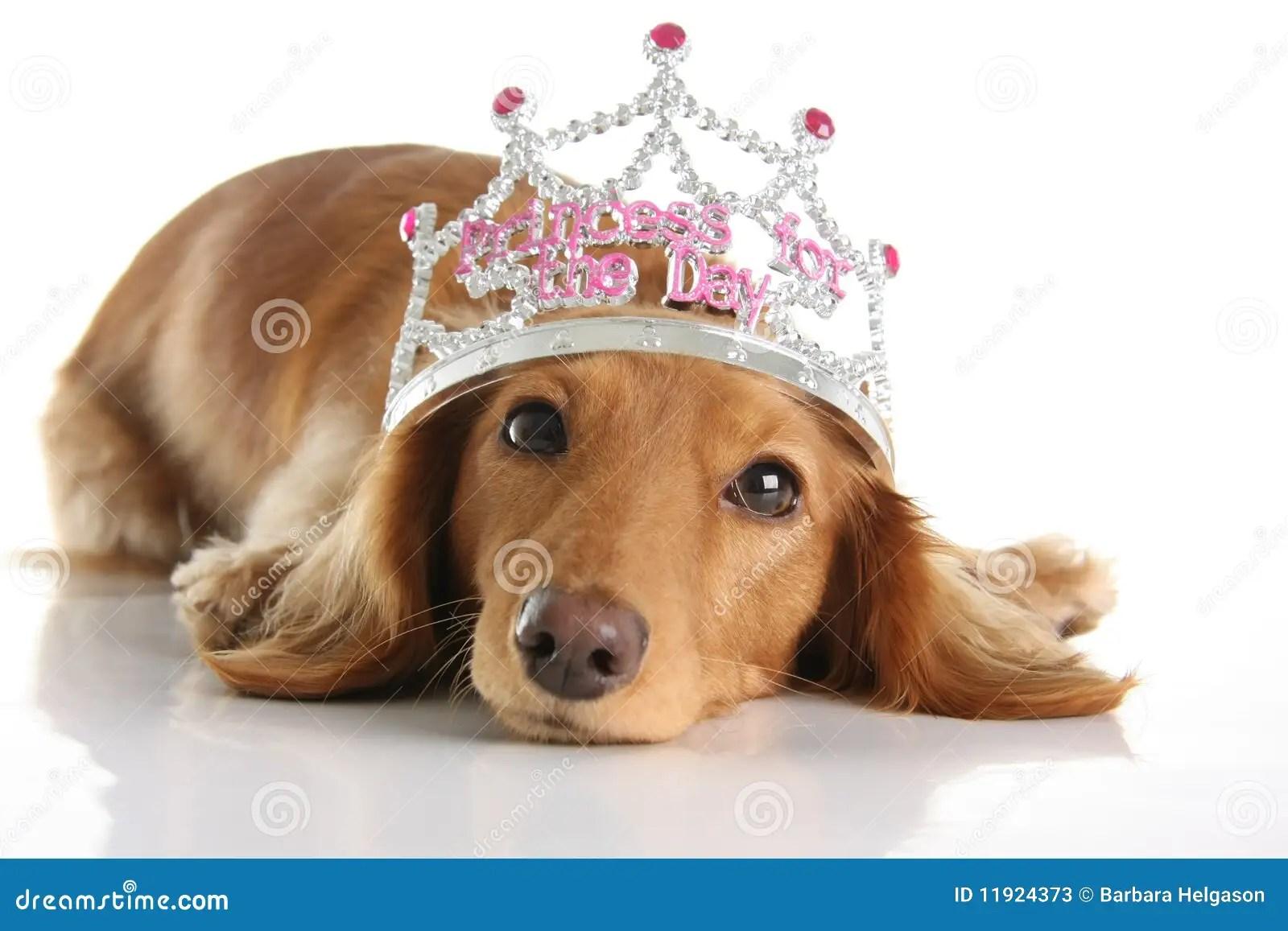 Dachshund Princess Stock Image Image Of Doggy Creature