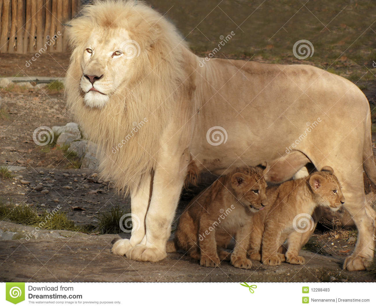 Daddy Lion And His Two Babies Stock Image