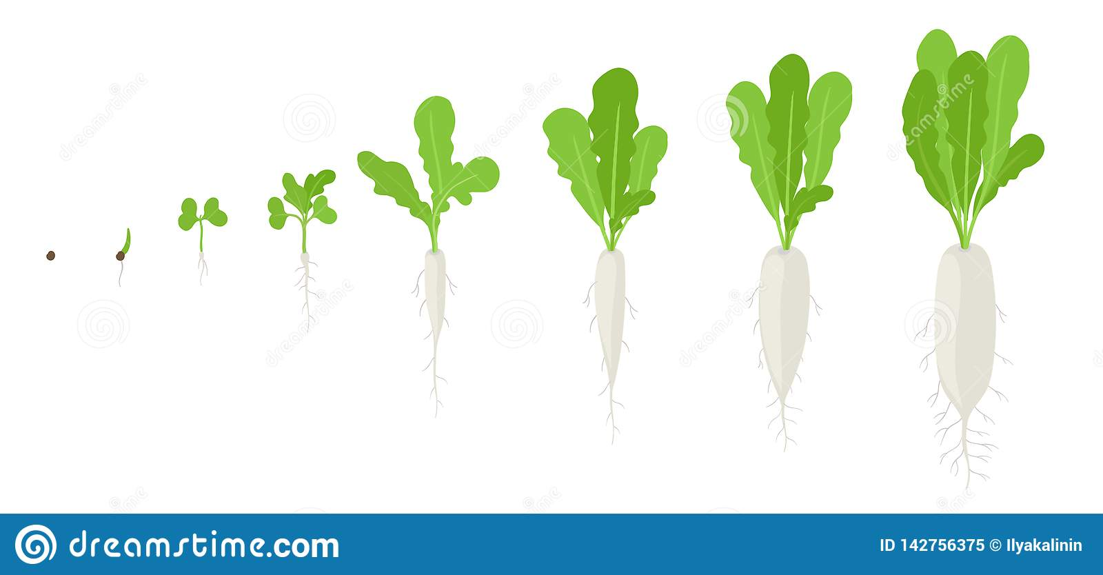 Daikon Growth Stages Planting Of Long White Winter Radish