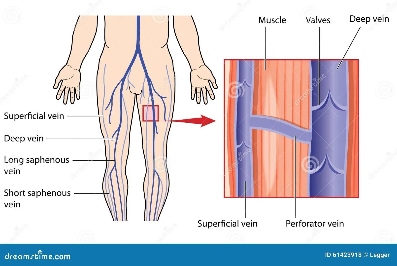 Anatomy Lower Leg Inside