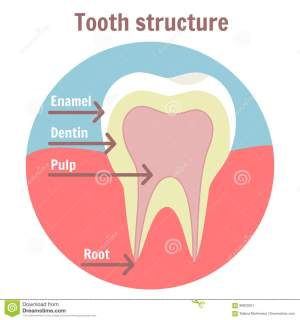 Dental Tooth Structure Medical Diagram Of The Structure