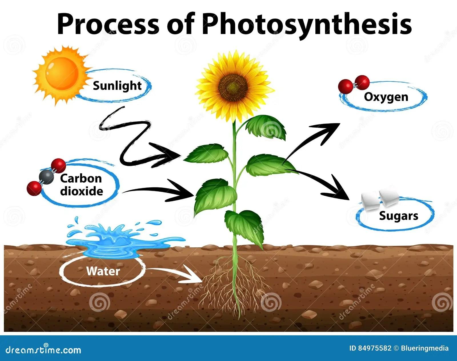 Diagram Zonnebloem En Proces Van Fotosynthese Tonen