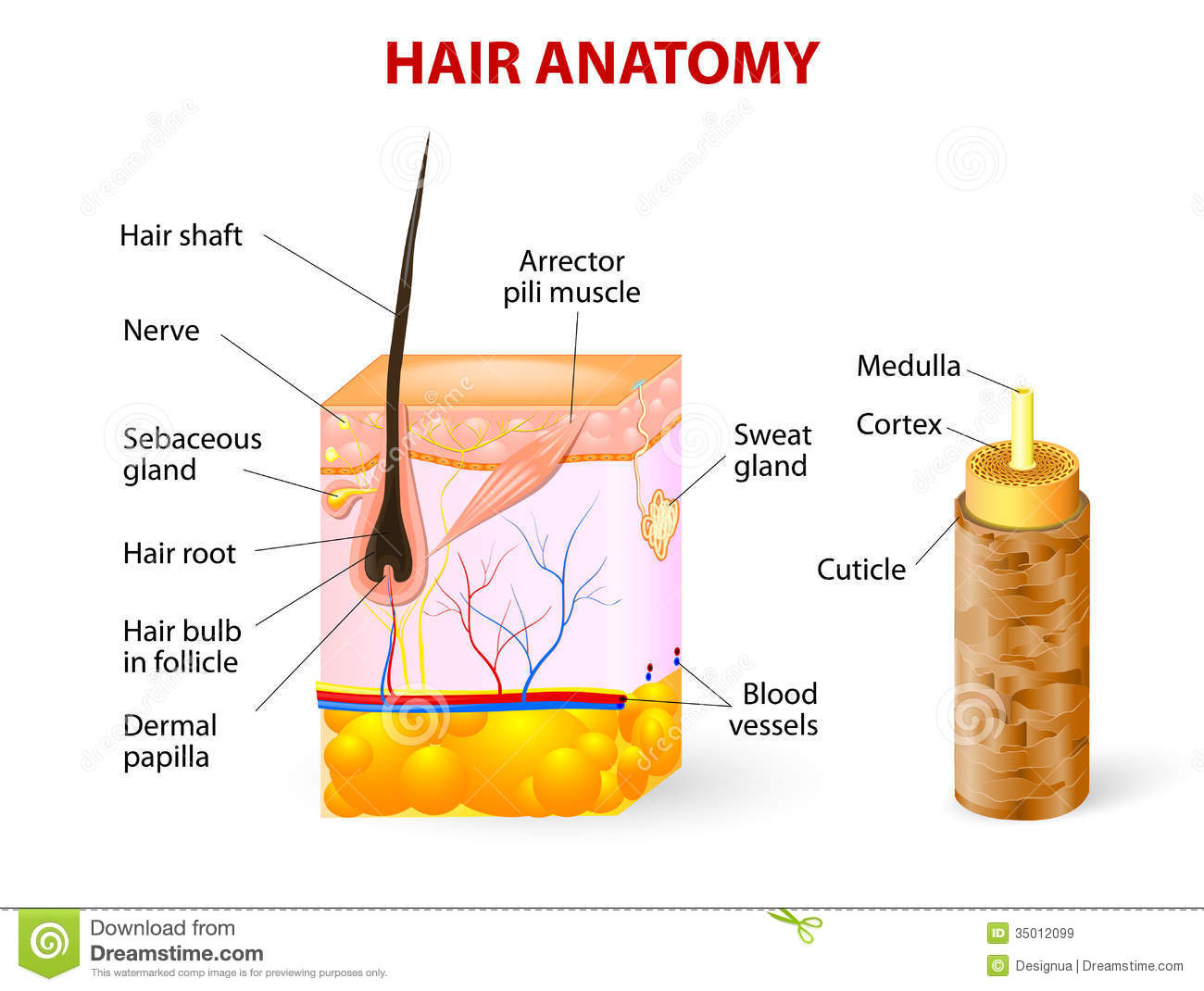Diagram Of A Hair Follicle In A Cross Section Of S Stock Vector