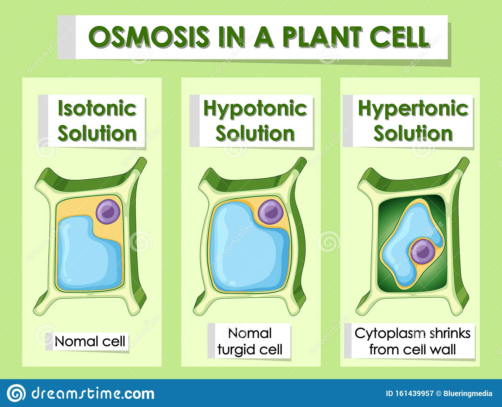 Diagram Showing Osmosis In Plant Cell Stock Vector