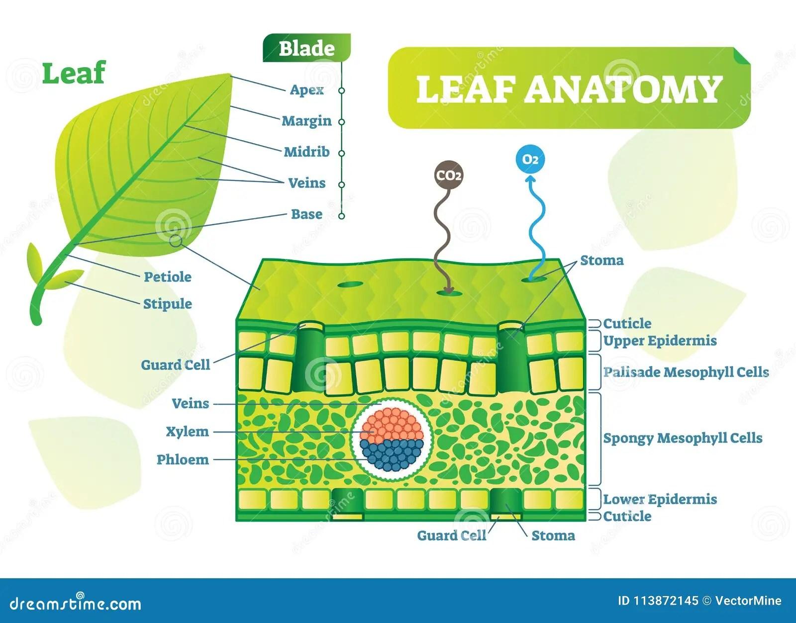 Diagramma Dell Illustrazione Di Vettore Di Anatomia Della