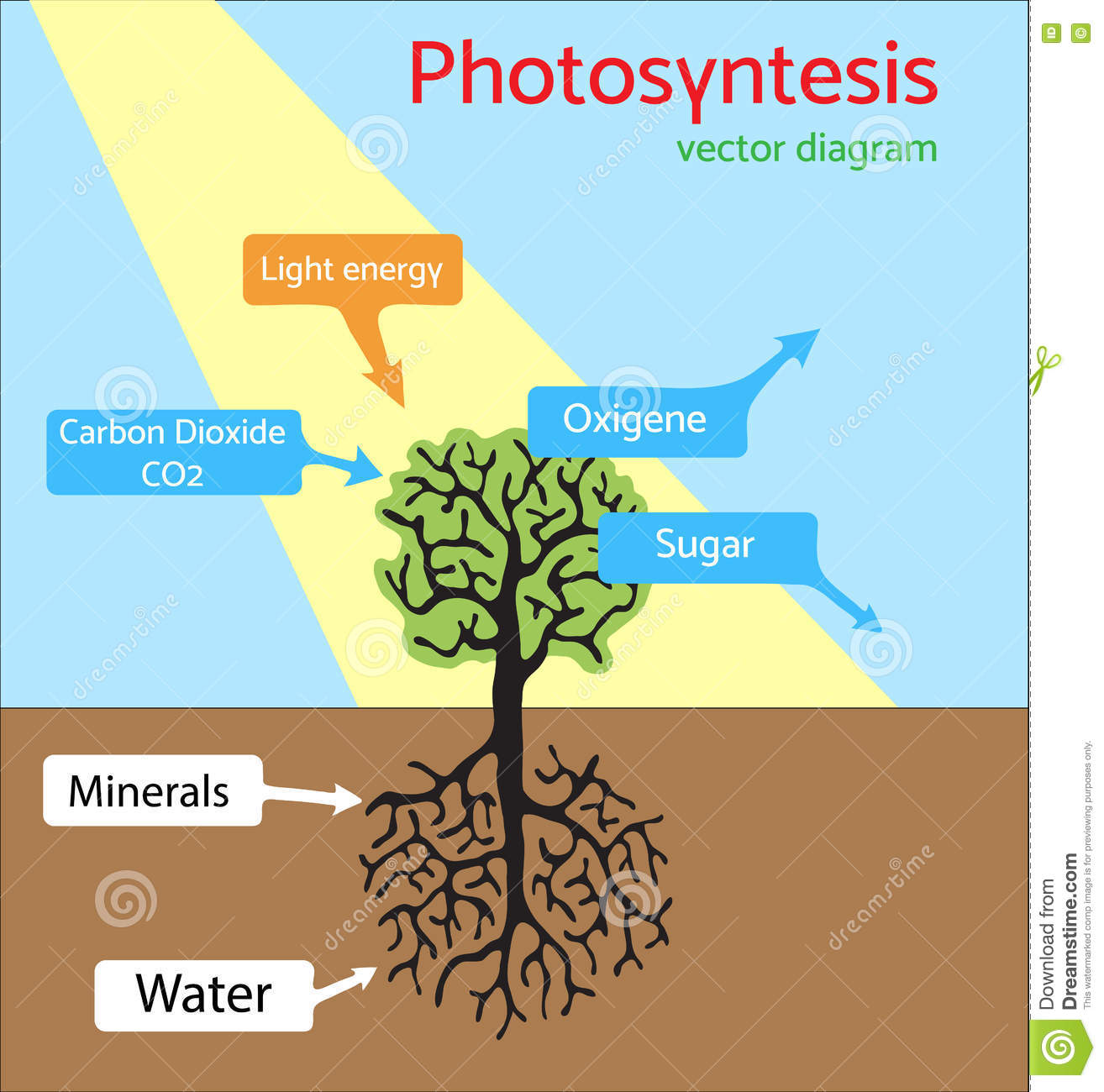 Diagramme De Photosynthese Illustration Schematique De