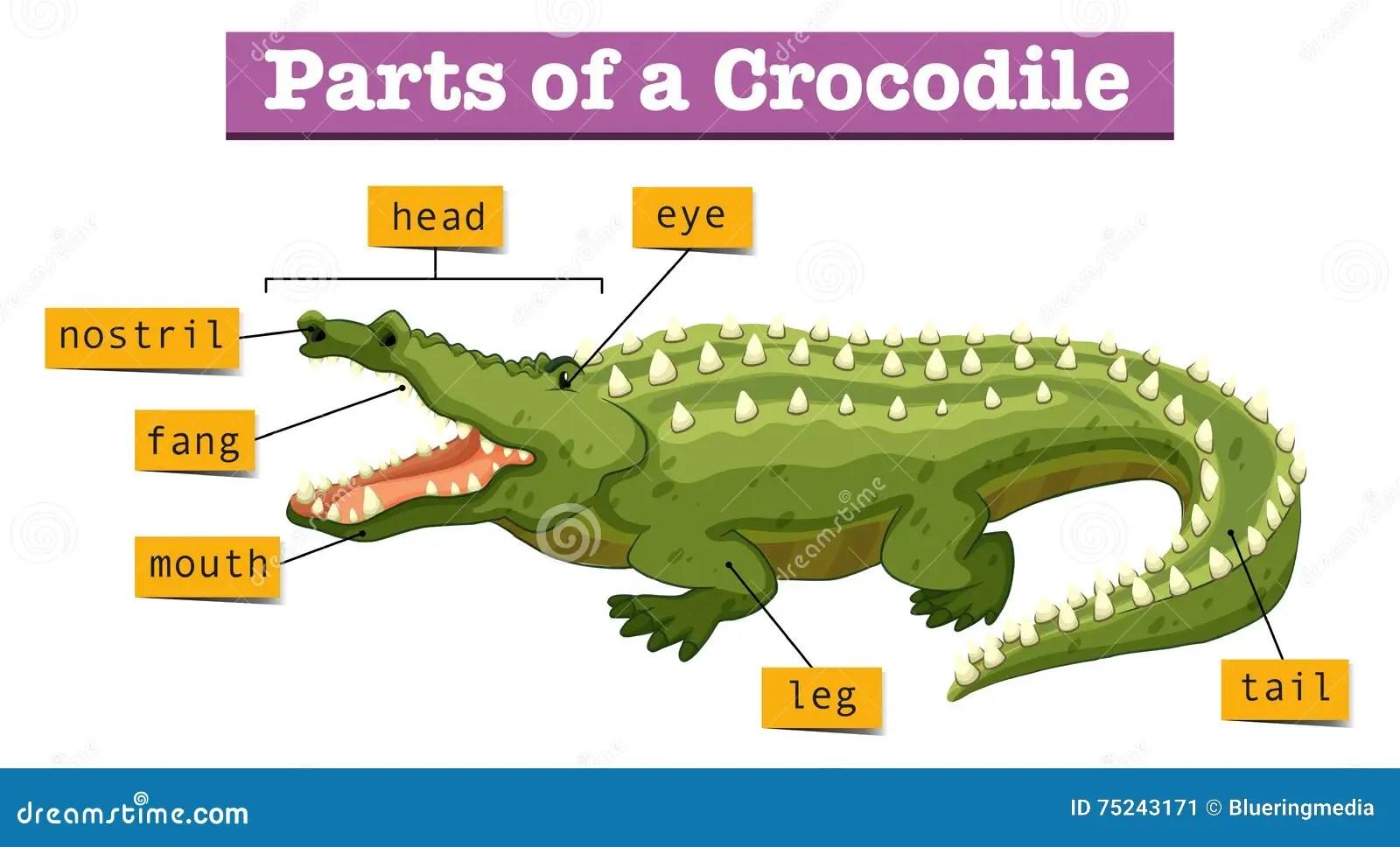 Komodo Dragon Life Cycle Diagram