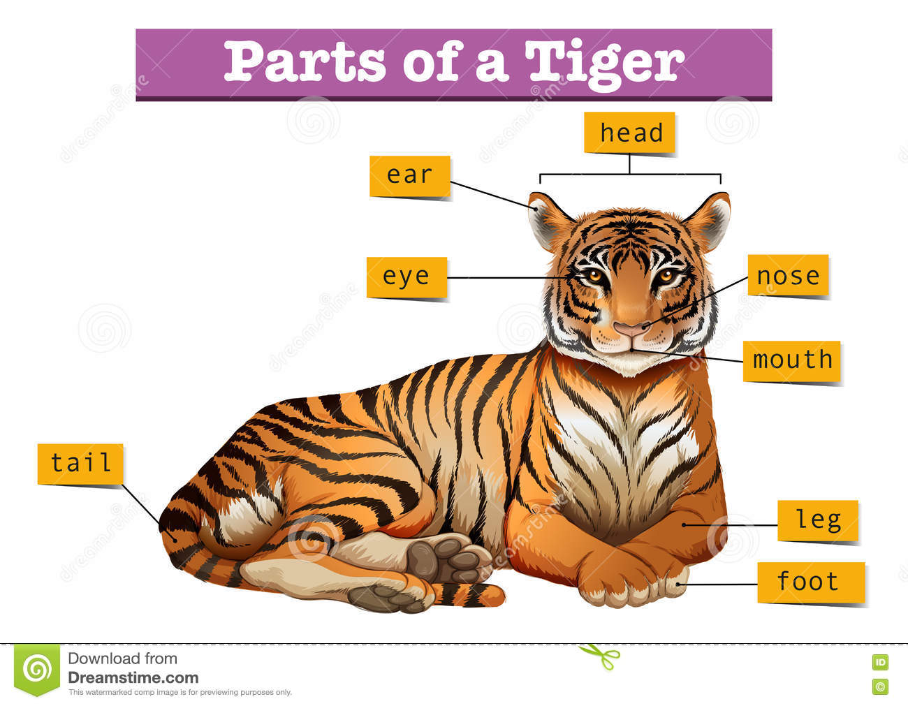 Diagramme Montrant Des Parties De Tigre Illustration De