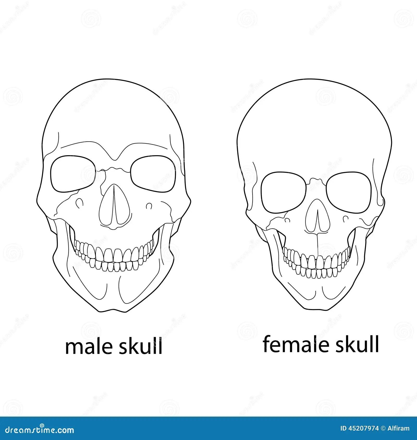 Differenze Del Cranio Maschio E Femminile Illustrazione