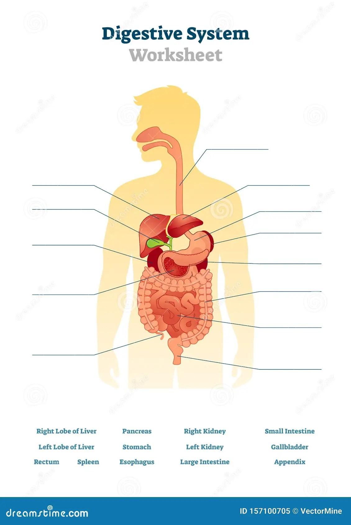 Digestive System Worksheet Vector Illustration Blank