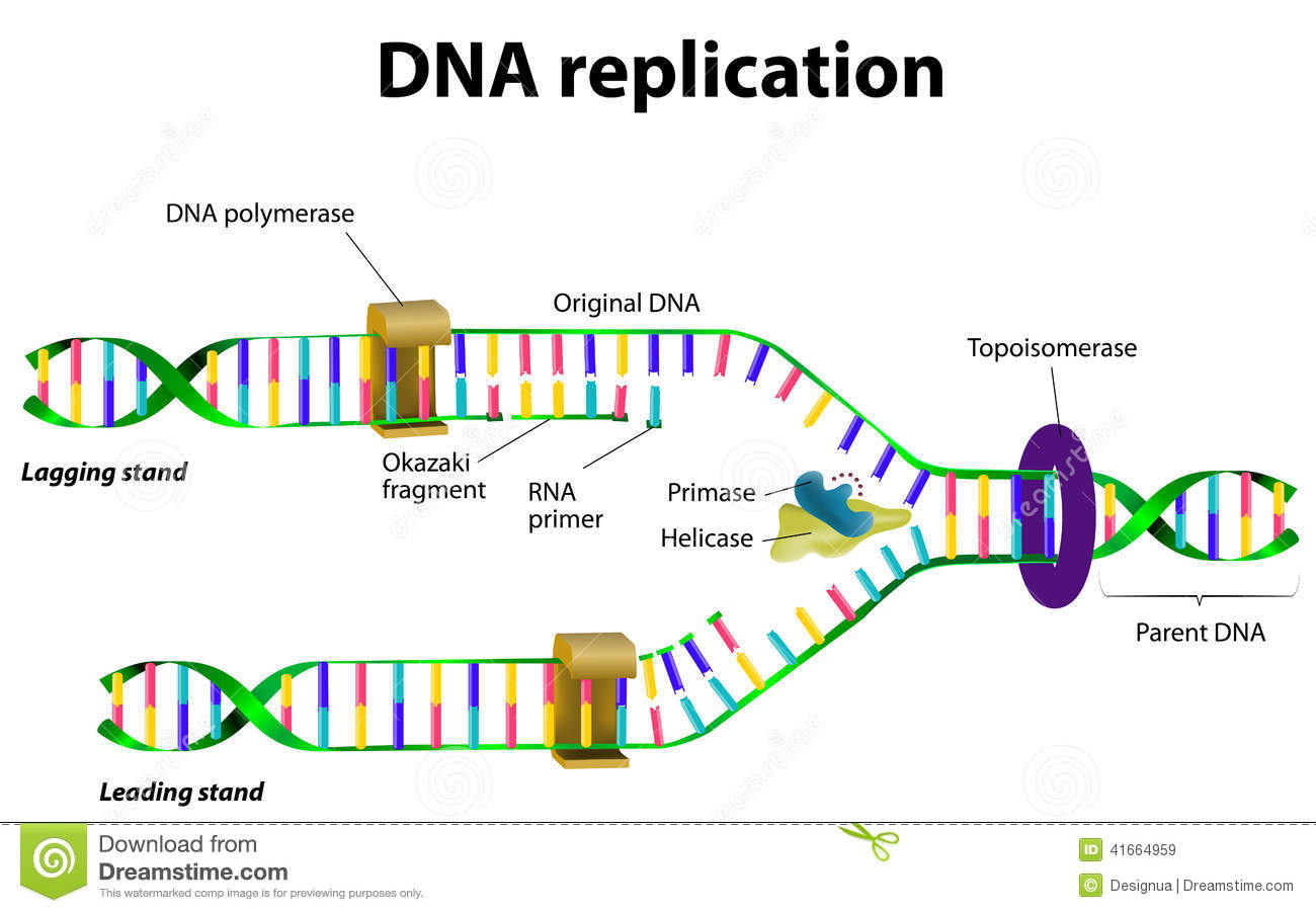 Dna Replication Stock Vector Illustration Of Cell
