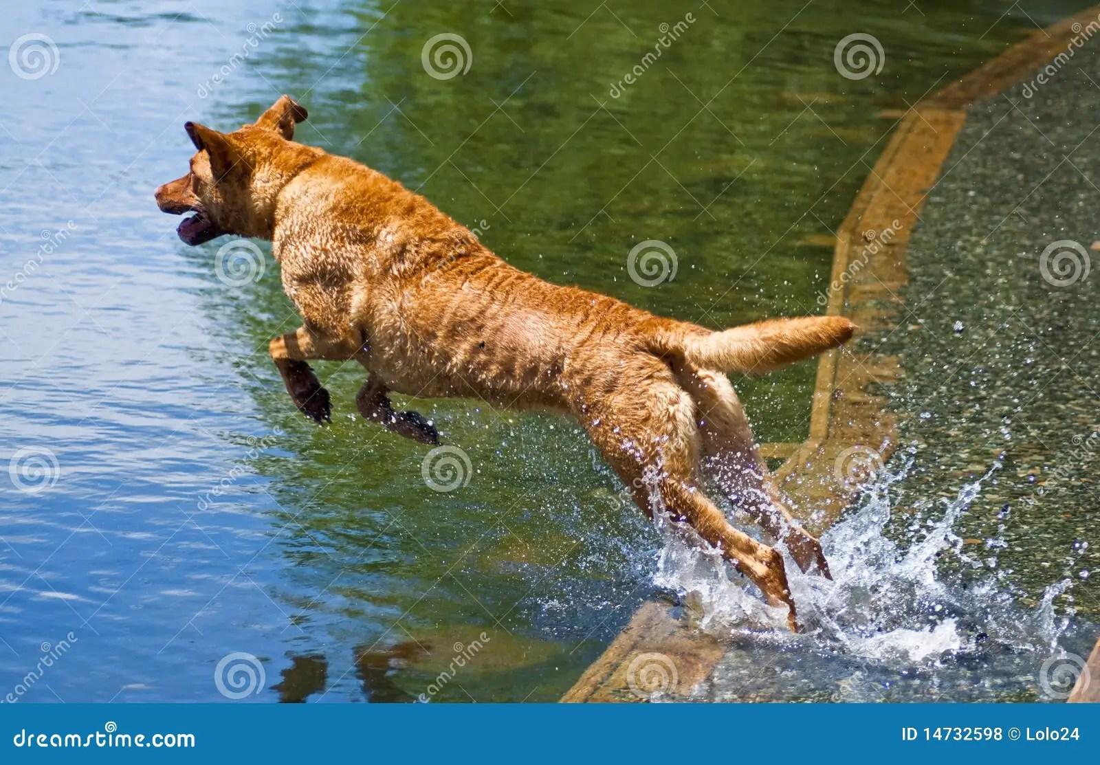 Dog Jumping Into Water Royalty Free Stock Photos Image