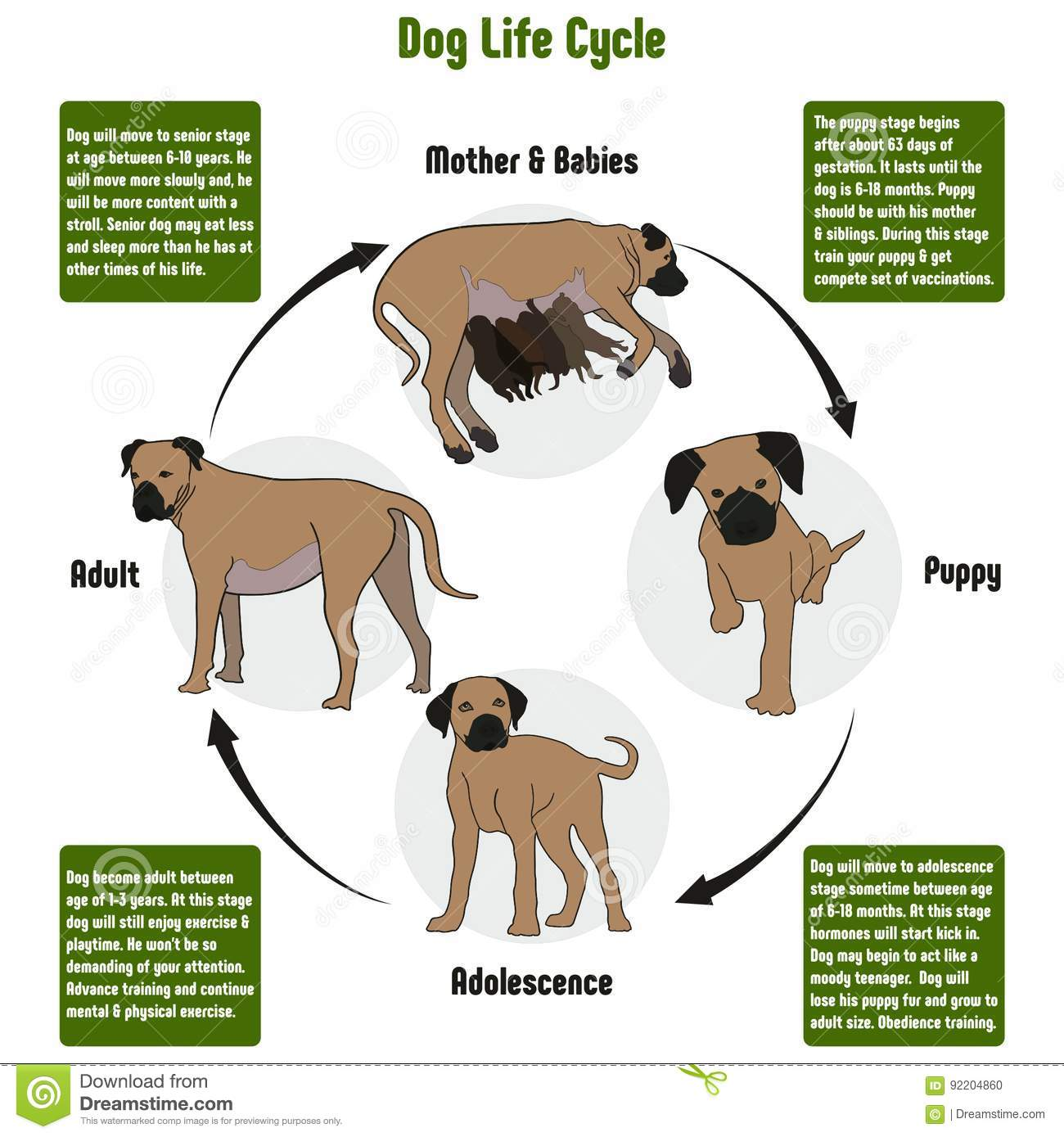 Dog Life Cycle Diagram Stock Vector Illustration Of