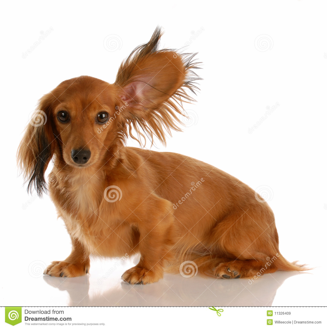 Dog Listening With Ear Up Stock Image Image Of Hound