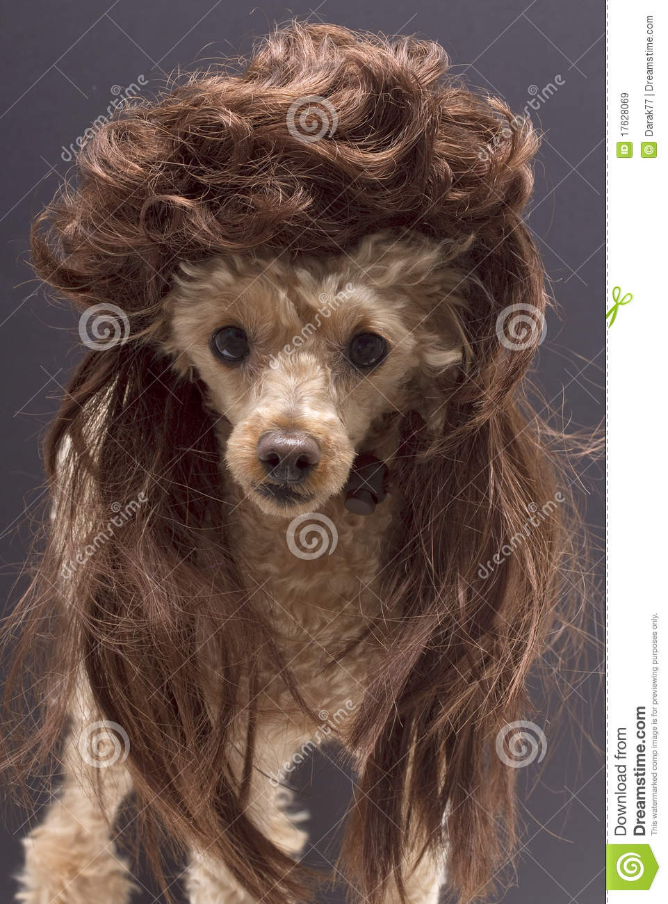 Dog With Mullet Royalty Free Stock Images Image 17628069