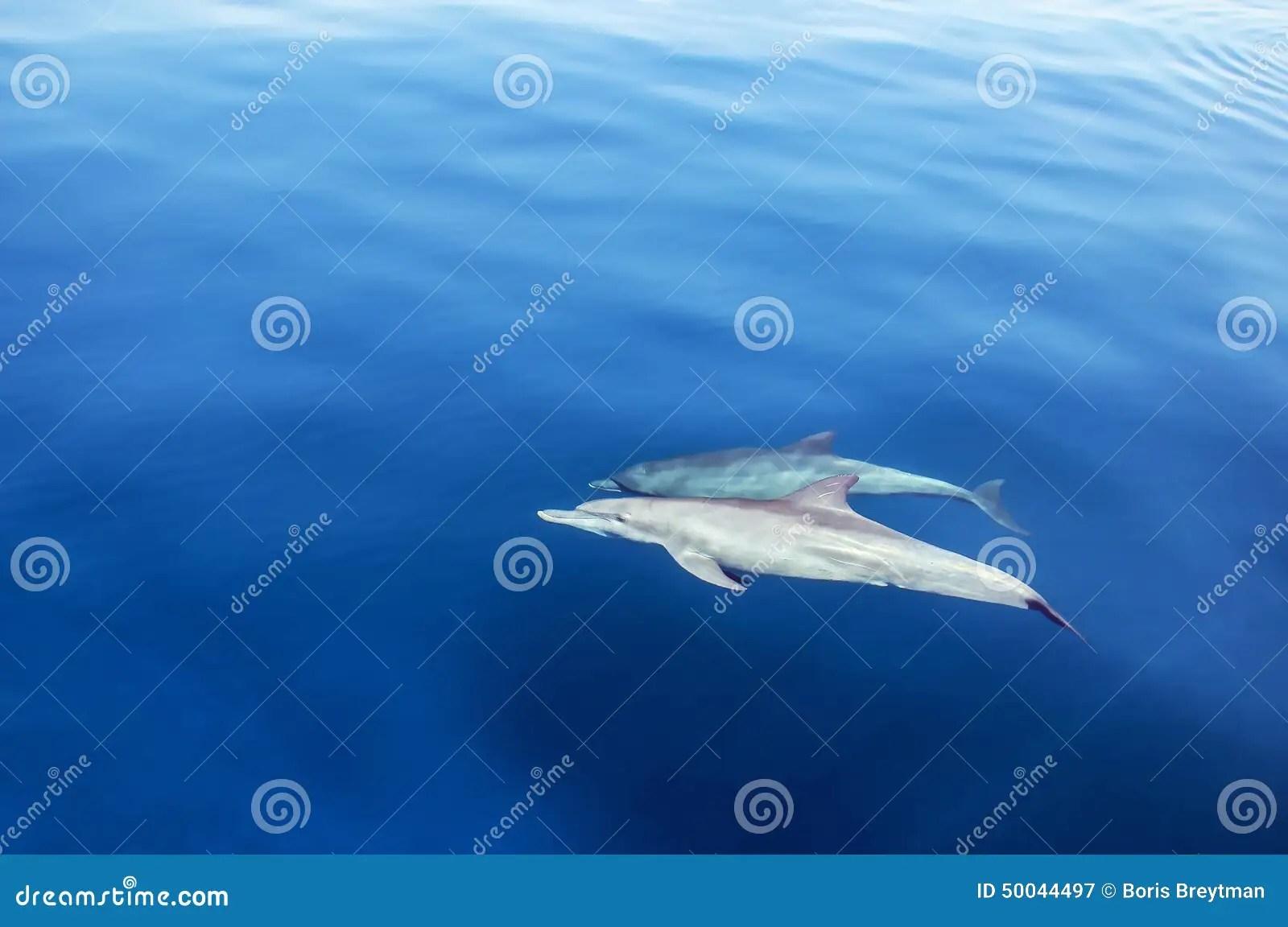 Dolphin In Ocean