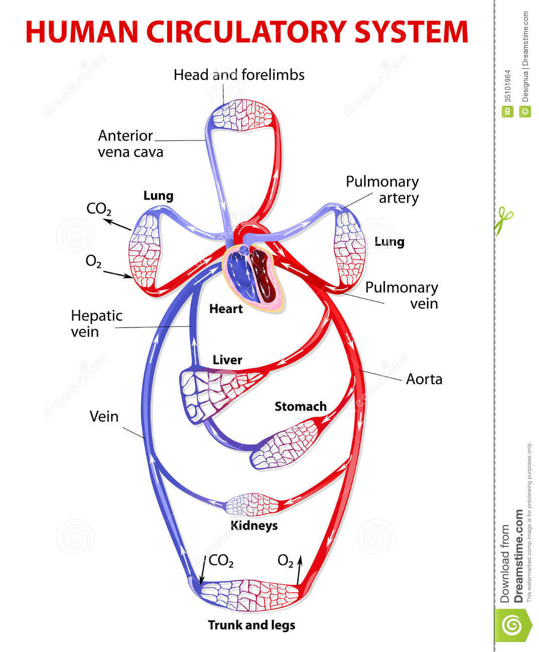 Double Circulatory System Stock Vector Illustration Of
