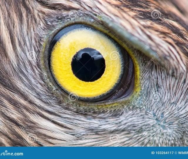 Eagle Eye Close Up Eye Of The Goshawk