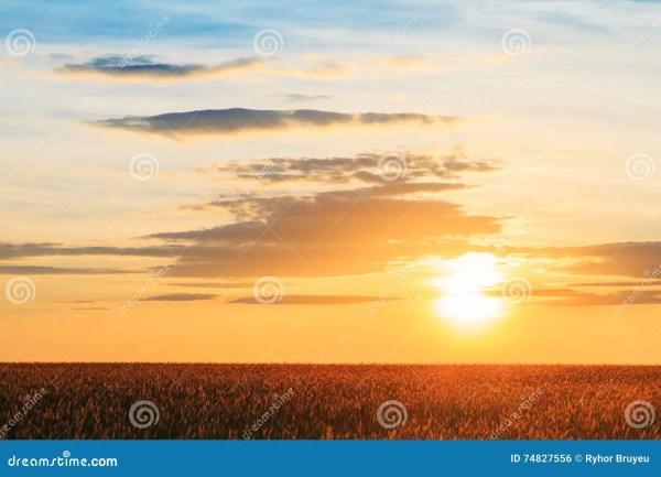 Eared Wheat Field, Summer Cloudy Sky In Sunset Dawn ...