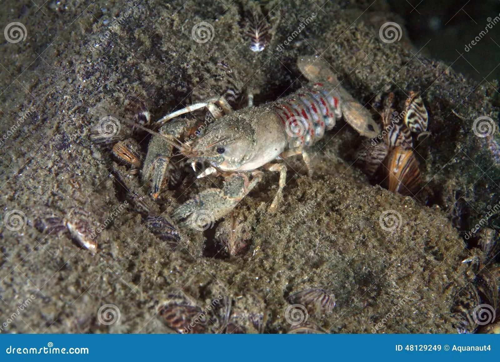Eastern Crayfish Stock Photo