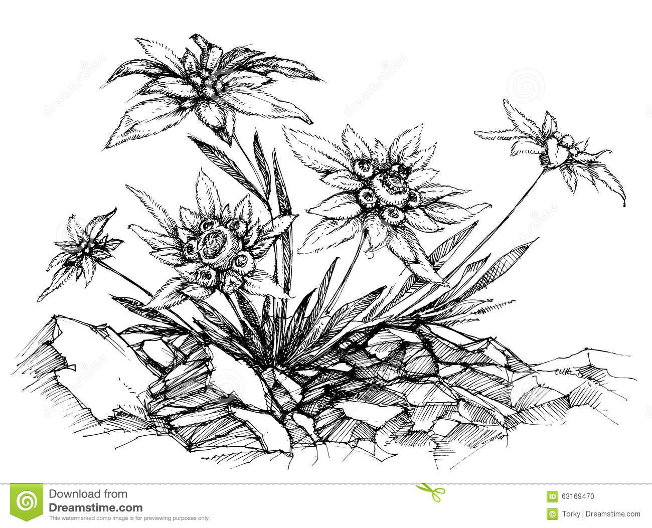 Edelweiss Cartoons Illustrations Amp Vector Stock Images