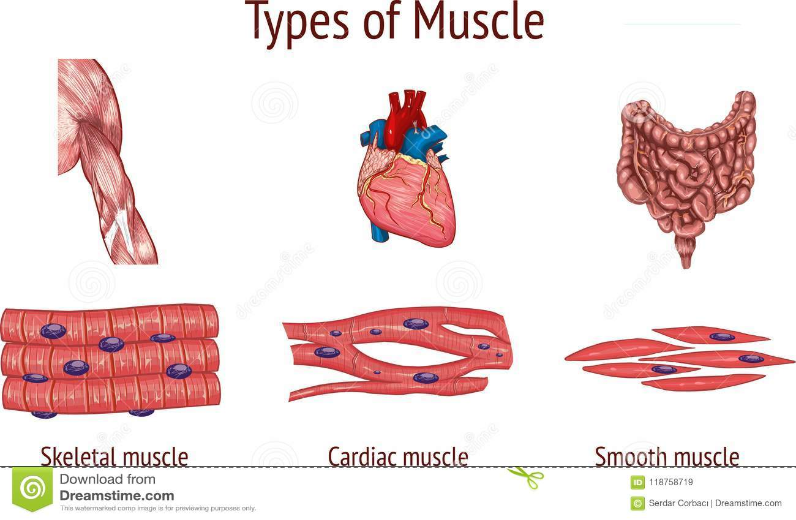 Ejemplo Del Vector Del Tipos De Musculo Ilustracion Del