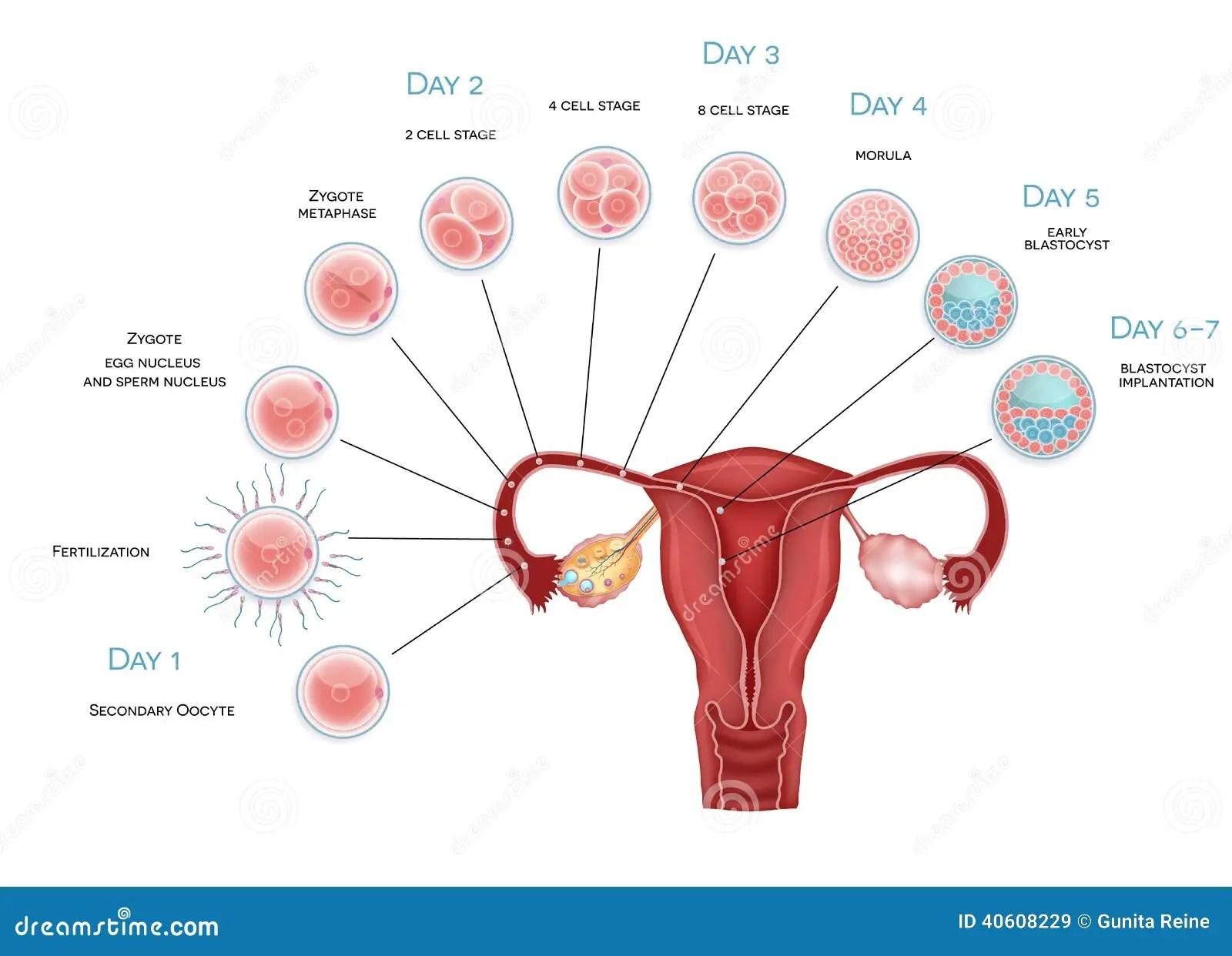 Embryo Development Stock Vector