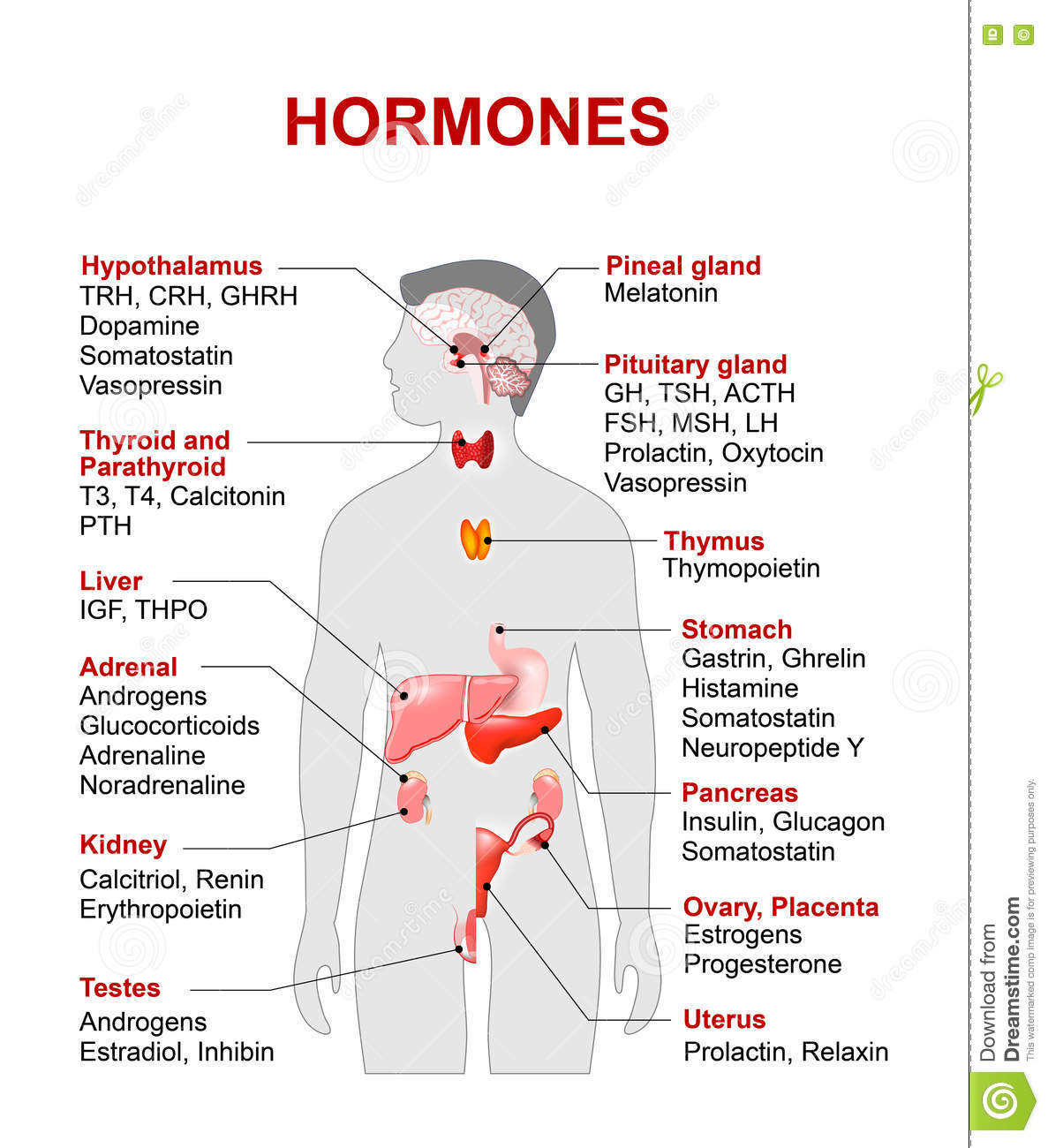 Endocrine Gland And Hormones Stock Image