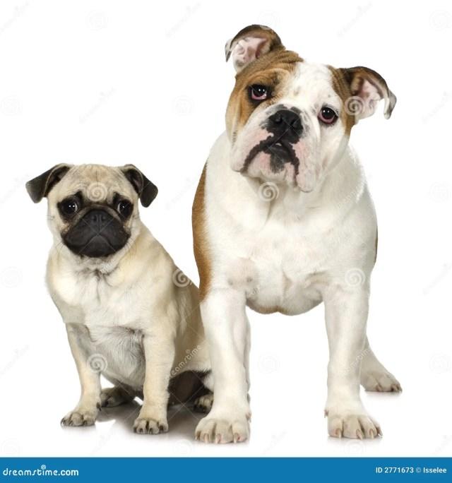 english bulldog and a pug stock image. image of bulldog - 2771673