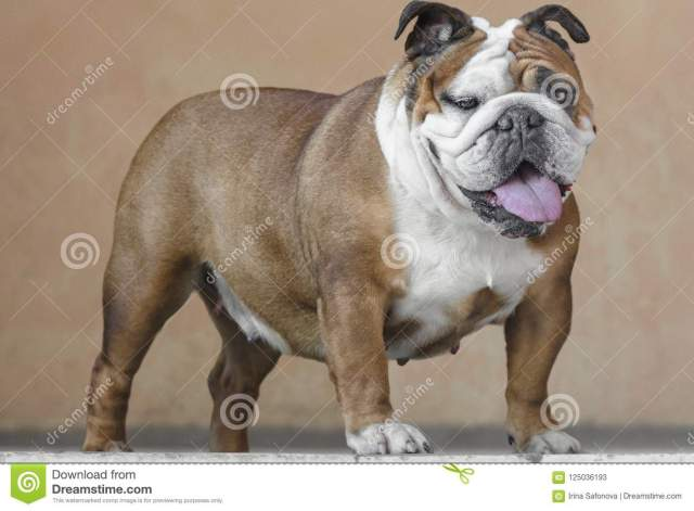 english bulldog red white color adult stands on light