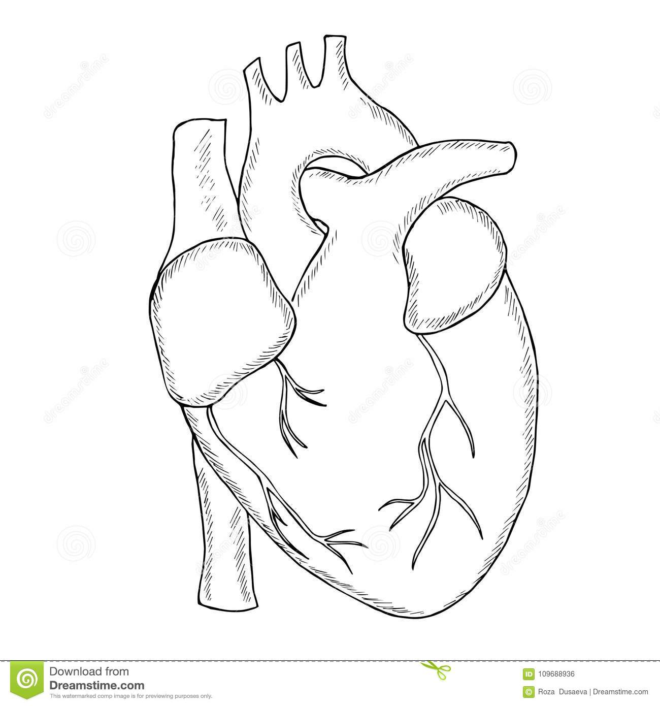 Human Heart Sketch Liner Stock Vector Illustration Of