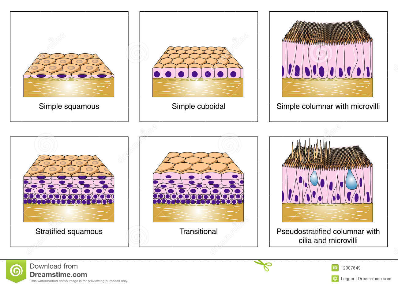 Epithelial Types Stock Vector Illustration Of Cilia